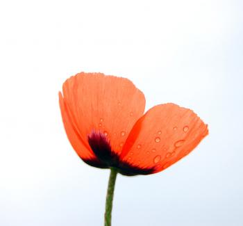 image of a poppy against a blue blue sky